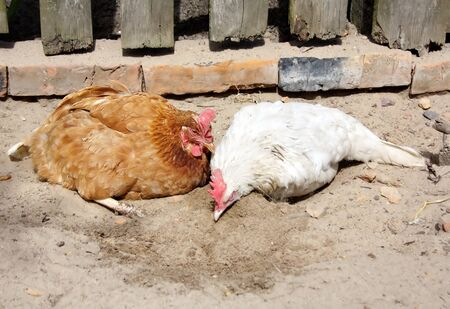 bask: red and white chicken in the village yard take sand baths Stock Photo