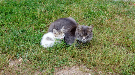 grey cat with a small fluffy colorful kitten gently in each others arms sitting in the grass