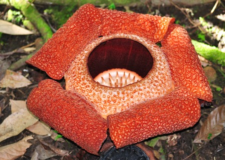 Rafflesia keithii, the biggest flower in the world -Mt  Kinabalu National Park Sabah Borneo Malaysia  Stock Photo