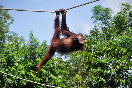 Orang Utan swinging