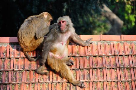 lice: Two cute macaque monkey, picking lice in Swayambhunath, Kathmandu Nepal.