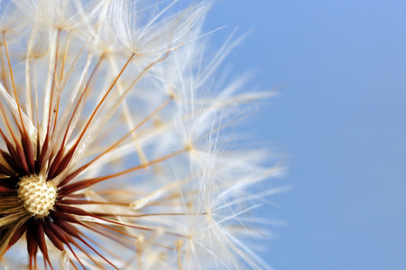 Close up of dandelion with soft and selective focus against light blue background. Nature abstract background.