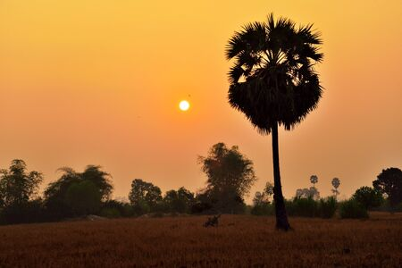 siem: Silhouette of palm tree during sunrise in Siem Reap Cambodia