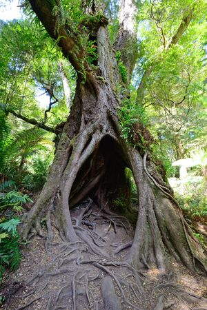 great: Tree at Maits Rest, Great oatway national Park in Victoria, Australia.