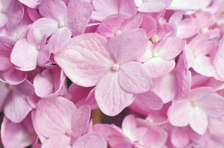 hydrangea flower: Pink hydrangea flower for background Stock Photo