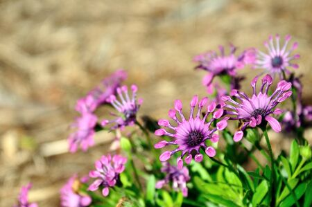 african daisy: Astra Purple Spoon African Daisy or Osteospermum exotic tropical flower. Stock Photo