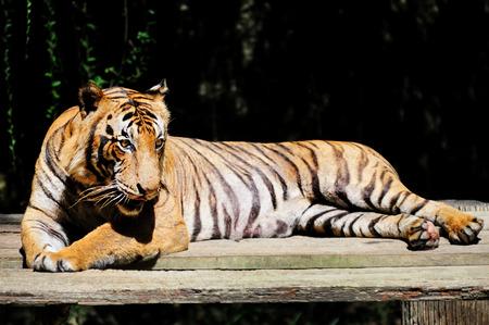 zoo animal: Malayan tiger - Panthera tigris jacksoni