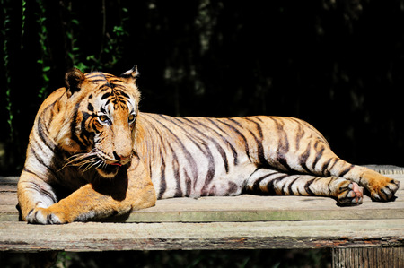 animals in the zoo: tigre malayo - Panthera tigris jacksoni