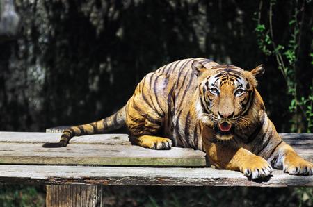 zoologico: tigre malayo - Panthera tigris jacksoni