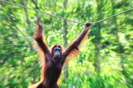 hominid: Zoom in effect of swinging Orangutan in Sabah Borneo, Malaysia. Stock Photo