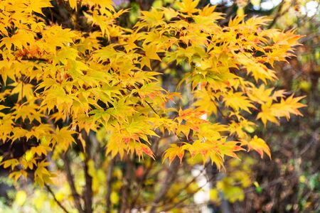 Selective focus of beautiful autumn foliage Seoul South Korea. 写真素材