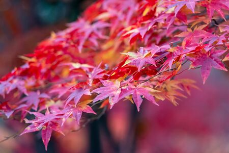 Selective focus of maple leaves in autumn season.