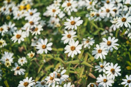 Selective focus of white Daisy floral background - Nature concept