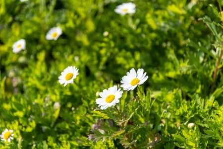 Selective focus of daisy flowers background, floral background Imagens