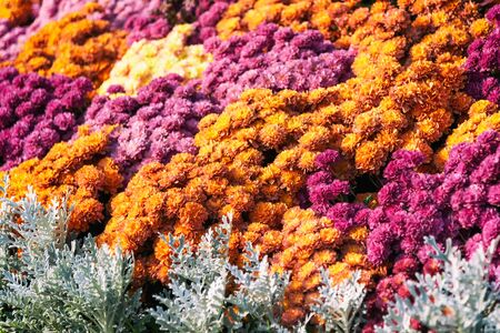 Orange and purple daisy flowers, nature backgrounds