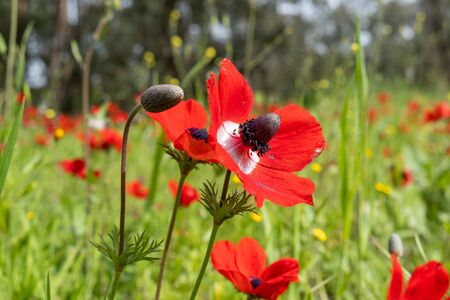 blooming of red anemone flowers on green spring meadow