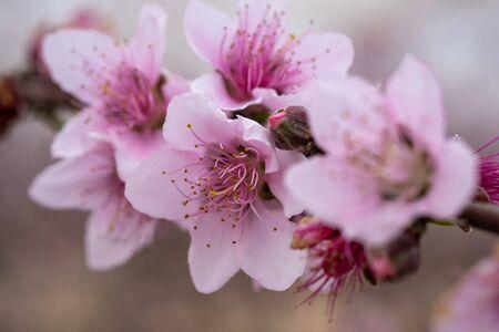 Macro shot of pink white almond tree flowers