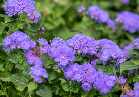 Ageratum houstonianum, commonly known as flossflower, bluemink, blueweed, pussy foot or Mexican paintbrush