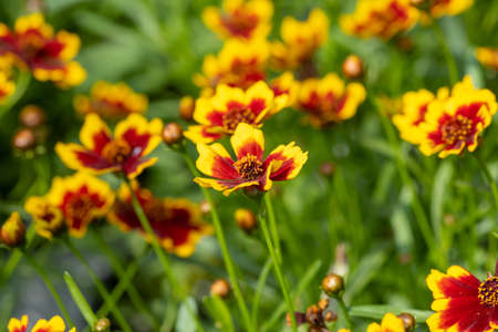 Coreopsis or calliopsis and tickseed flowers grown in greenhouse Imagens