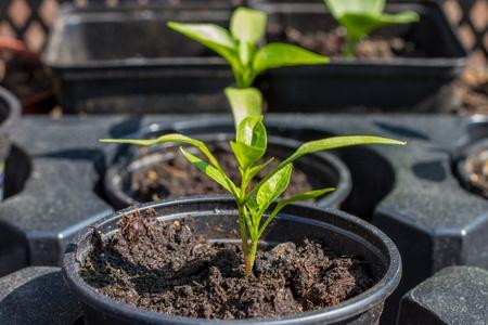 Seedling in a pot Standard-Bild
