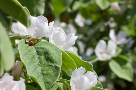 Two mating ladybeetles on a blooming quince tree