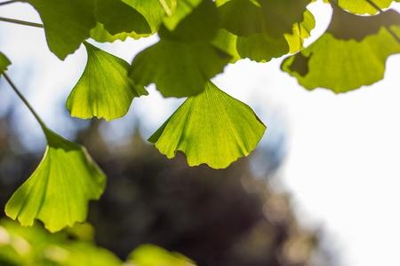 Leaves of Gingko biloba Standard-Bild