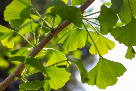 gingko: Leaves of Gingko biloba Stock Photo