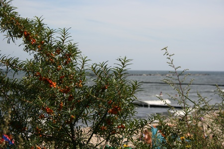 Sea buckthorn growing near the beach of the Baltic Sea in Germany photo