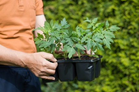 A gardener keeps young tomatoe plants in his hands going to bed them out in the garden
