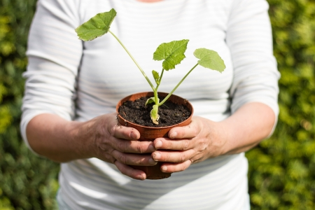 Female gardener keeps a young cucumber plan in her hands for bedding it out in the garden Stock Photo - 13783375