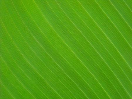 green banana leaf Stock Photo - 8617687
