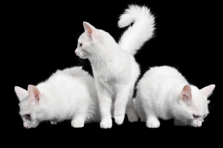 Three white fluffy cats on black background Stock Photo