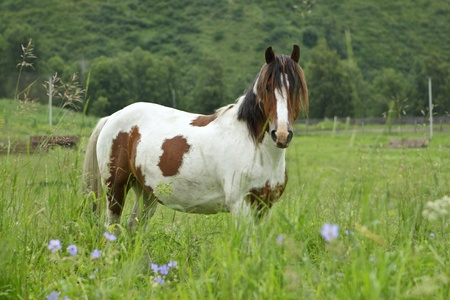 are grazed: Beautiful multi-colored horse is grazed on meadow
