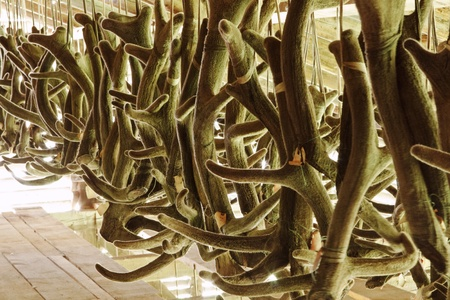 huge antlers: Processing of horns deer in farm for manufacturing of medicines