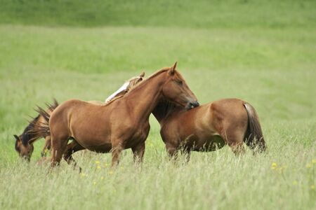 Two horses play at meadow photo