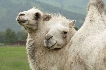 White camels in the summer in Siberia. Russia. Altai.