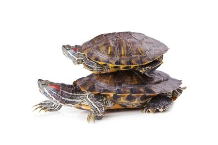 Beautiful striped turtles isolated on white background Standard-Bild