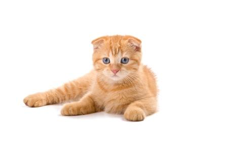 Scottish fold kitten isolated on white background Stock Photo