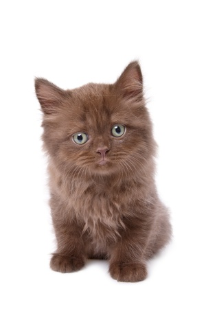 british shorthair: Darkly brown color kitten isolated on white background