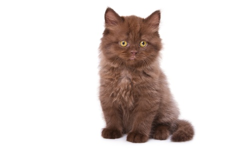 Darkly brown color kitten isolated on white background photo