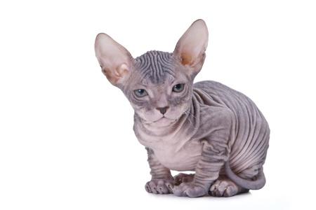 esfinge: Gato esfinge aisladas o? fondo blanco