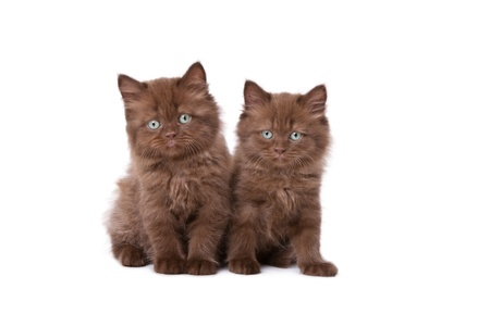 Two darkly brown color kitten isolated on white background photo