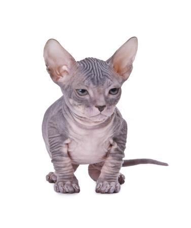 Sphinx: Sphinx cat isolated oт white background Stock Photo