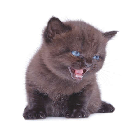 Kitten with an open mouth and pink language Stock Photo - 12688196