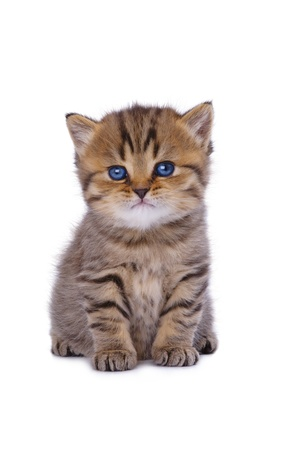 Beautiful kitten with blue eyes isolated on white background