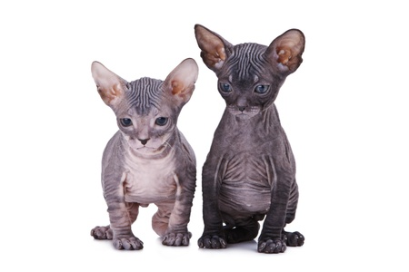 Two sphinx cat isolated oт white background