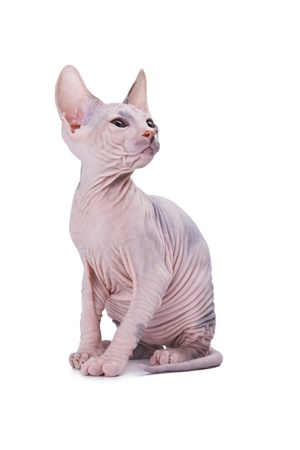 The bald young grey cat on white background Stock Photo - 13179640