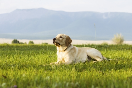 The golden retriever lies on green grass and the owner command Stock Photo