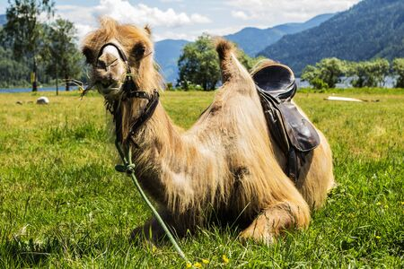 saddle camel: The camel has rest on glade with a green grass