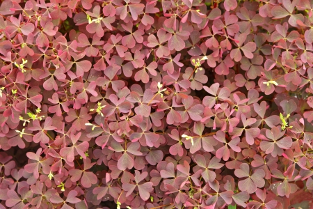 oxalis: Fine background from juicy leaves in summer day Stock Photo
